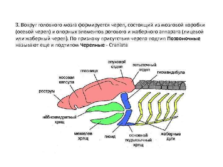 3. Вокруг головного мозга формируется череп, состоящий из мозговой коробки (осевой череп) и опорных