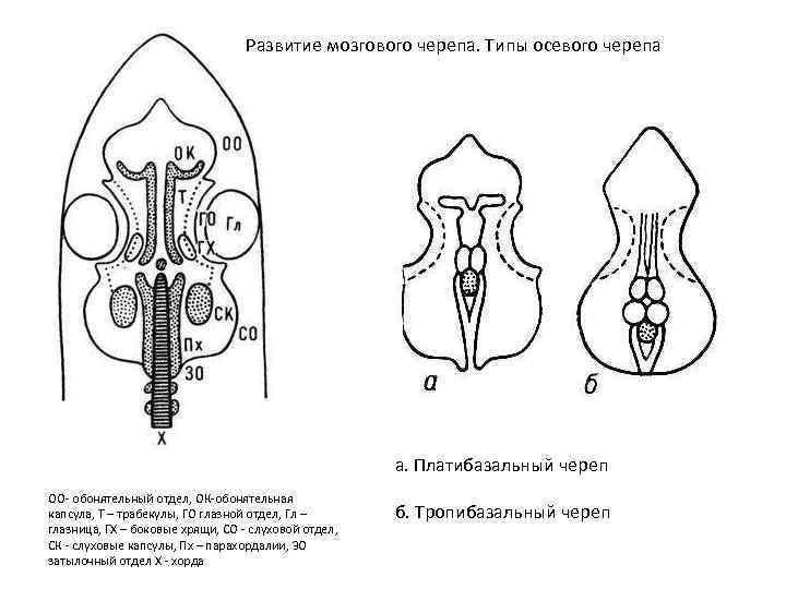 Развитие мозгового черепа. Типы осевого черепа