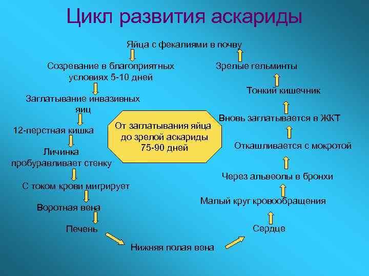 Цикл развития аскариды      Яйца с фекалиями в