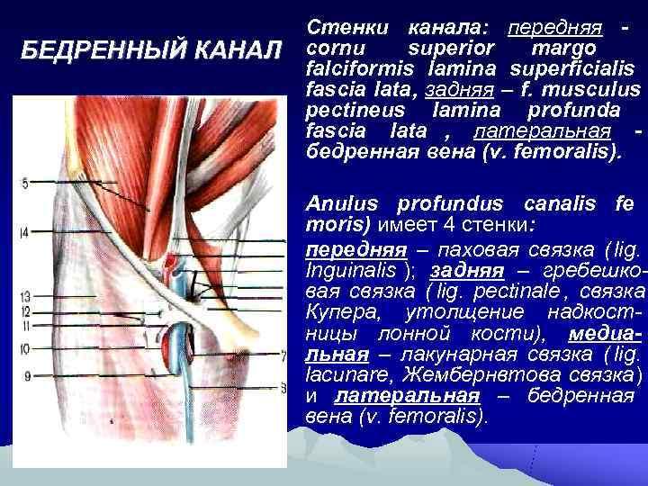 Стенки канала: передняя - БЕДРЕННЫЙ КАНАЛ  cornu superior margo