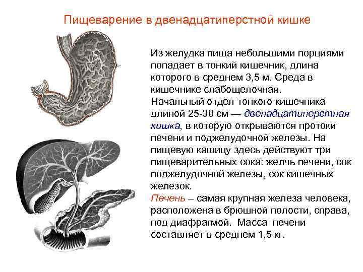 Пищеварение в двенадцатиперстной кишке    Из желудка пища небольшими порциями