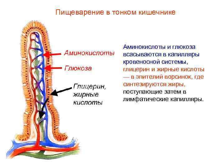 Пищеварение в тонком кишечнике    Аминокислоты и глюкоза   всасываются в