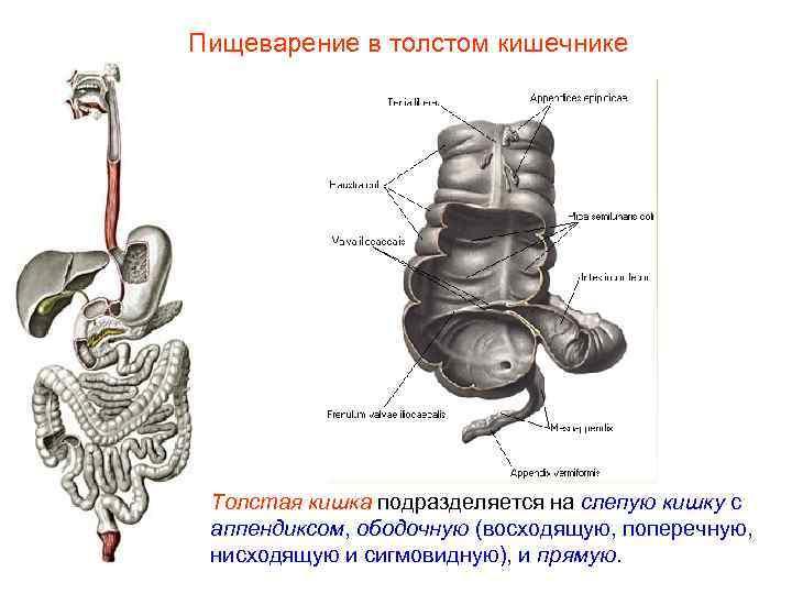 Пищеварение в толстом кишечнике Толстая кишка подразделяется на слепую кишку с аппендиксом, ободочную (восходящую,