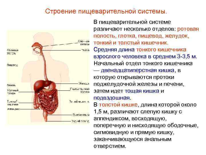 Строение пищеварительной системы.    В пищеварительной системе   различают несколько отделов: