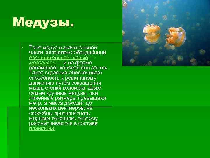 Медузы. § Тело медуз в значительной  части составлено обводнённой  соединительной тканью —