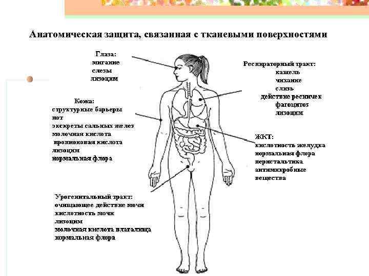 Анатомическая защита, связанная с тканевыми поверхностями