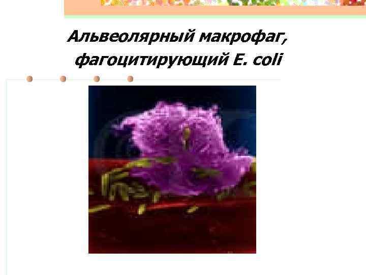 Альвеолярный макрофаг,  фагоцитирующий E. coli