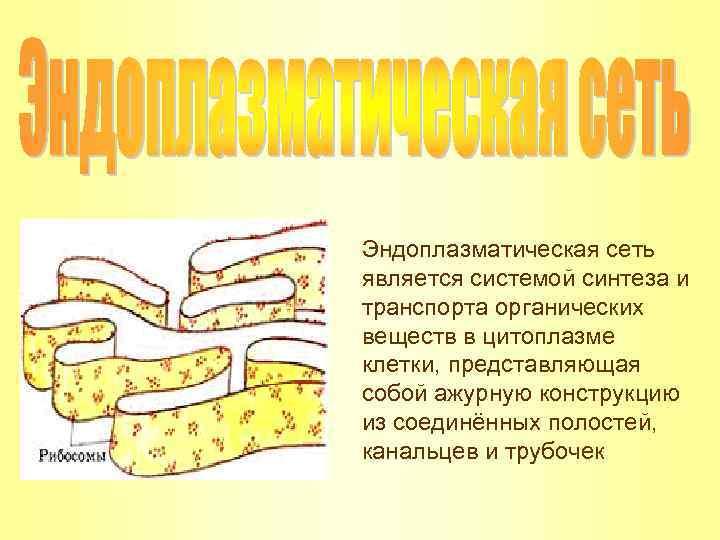 Эндоплазматическая сеть является системой синтеза и транспорта органических веществ в цитоплазме клетки, представляющая собой