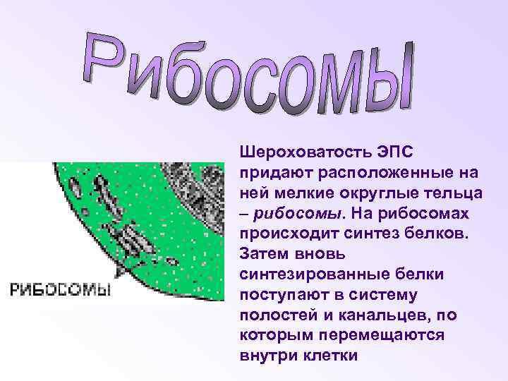 Шероховатость ЭПС придают расположенные на ней мелкие округлые тельца – рибосомы. На рибосомах происходит
