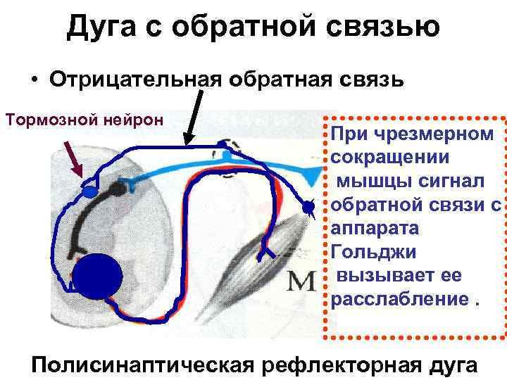 Дуга с обратной связью  • Отрицательная обратная связь Тормозной нейрон
