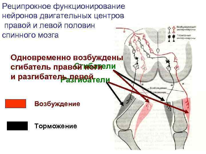 Реципрокное функционирование нейронов двигательных центров правой и левой половин спинного мозга  Одновременно возбуждены