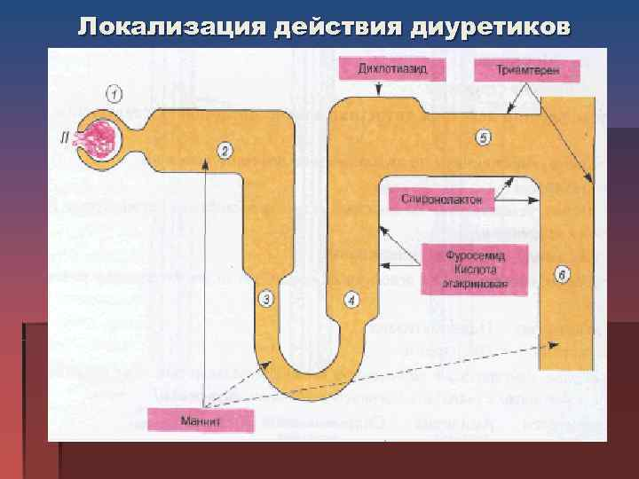 Локализация действия диуретиков