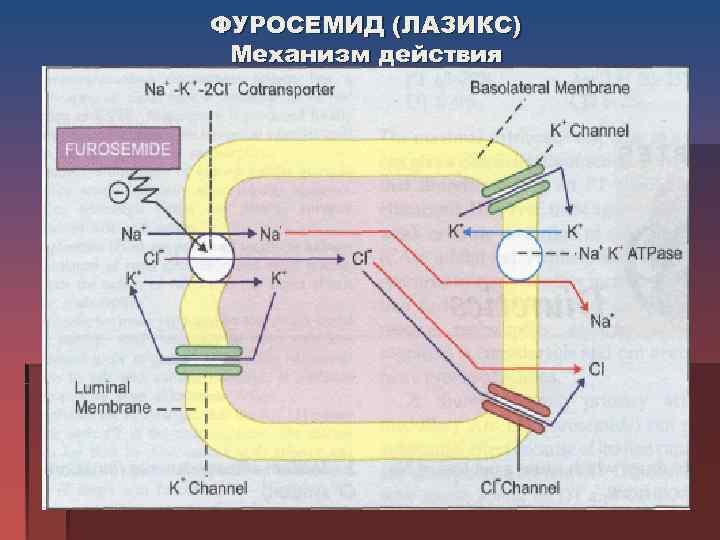 ФУРОСЕМИД (ЛАЗИКС) Механизм действия