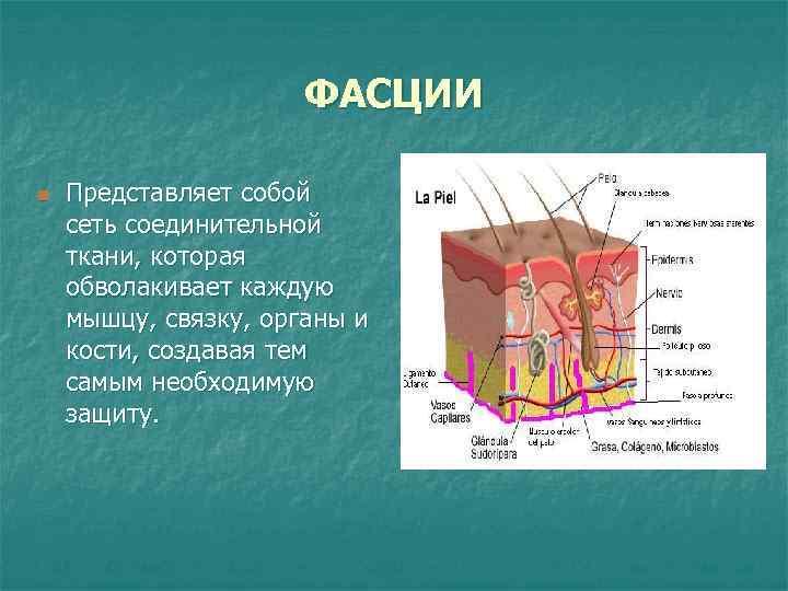 ФАСЦИИ n  Представляет собой сеть соединительной ткани, которая