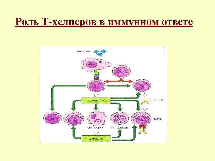 Роль Т-хелперов в иммунном ответе
