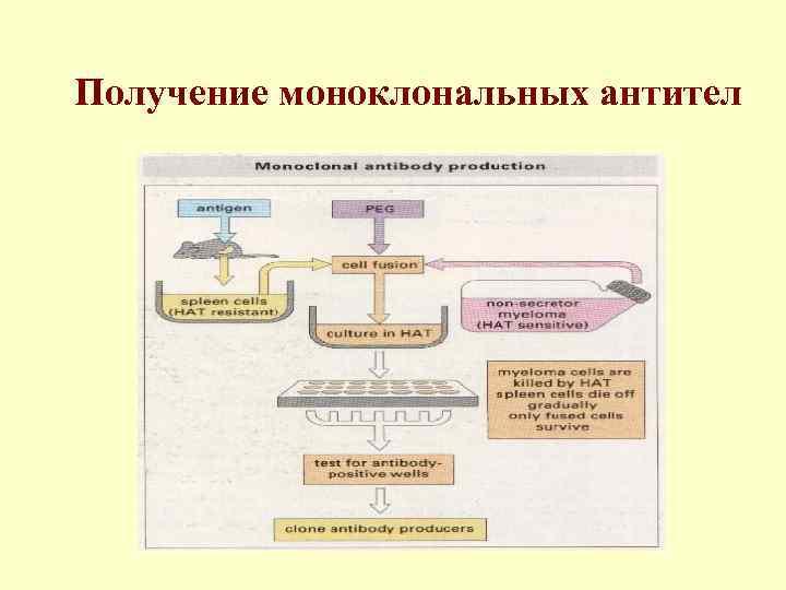 Получение моноклональных антител
