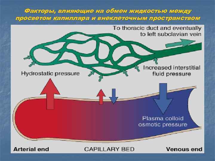 Факторы, влияющие на обмен жидкостью между просветом капилляра и внеклеточным пространством