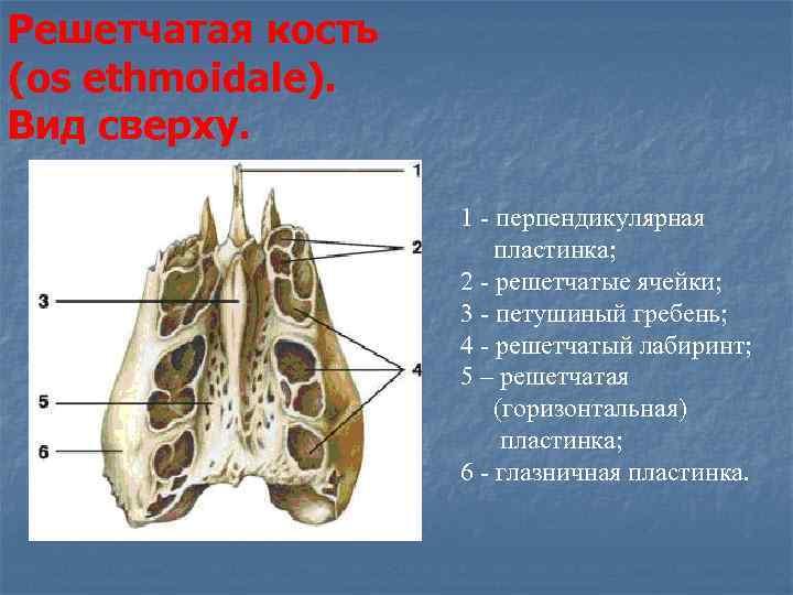 Решетчатой кости картинки