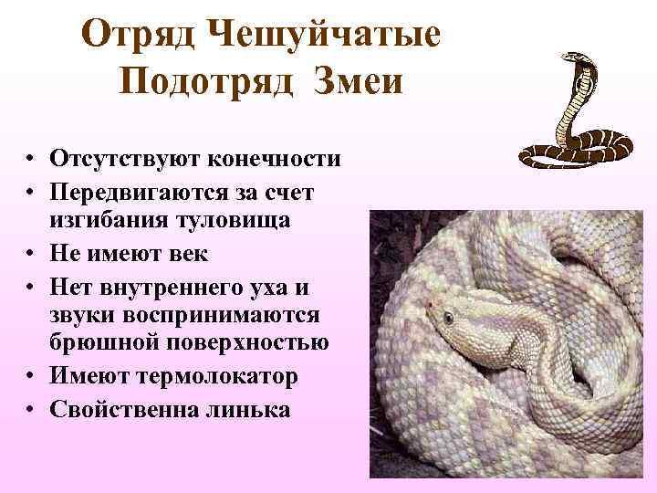 Отряд Чешуйчатые  Подотряд Змеи • Отсутствуют конечности • Передвигаются за счет