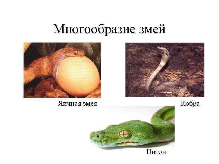 Многообразие змей Яичная змея  Кобра    Питон