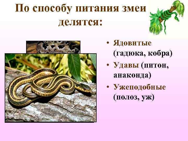 По способу питания змеи   делятся:    • Ядовитые