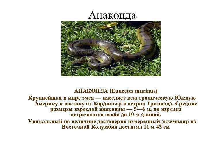 Анаконда     АНАКОНДА (Eunectes murinus) Крупнейшая