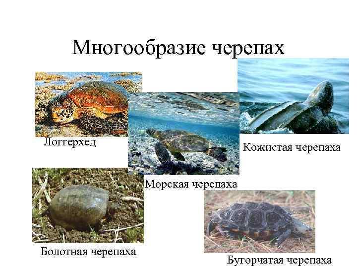 Многообразие черепах  Логгерхед     Кожистая черепаха
