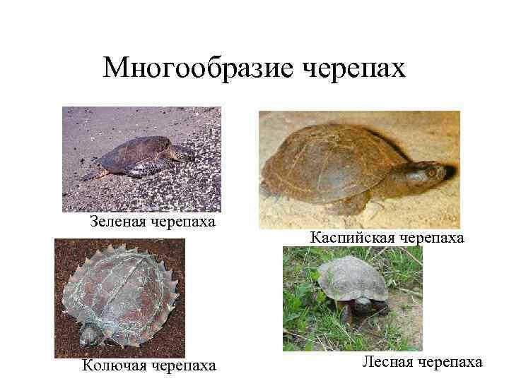 Многообразие черепах  Зеленая черепаха    Каспийская черепаха Колючая черепаха