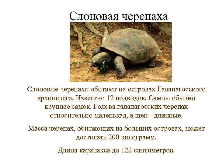 Слоновая черепаха Слоновые черепахи обитают на островах Галапагосского  архипелага. Известно 12