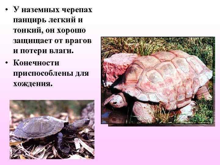 • У наземных черепах  панцирь легкий и  тонкий, он хорошо