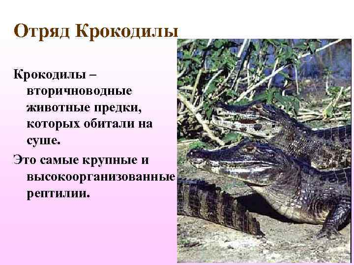 Отряд Крокодилы –  вторичноводные  животные предки, которых обитали на  суше. Это
