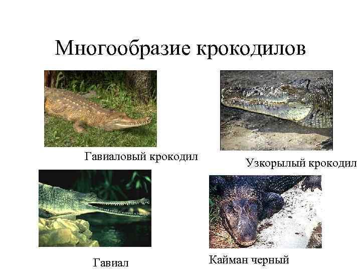 Многообразие крокодилов Гавиаловый крокодил     Узкорылый крокодил  Гавиал