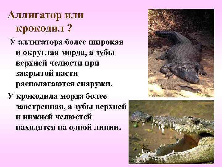 Аллигатор или  крокодил ? У аллигатора более широкая  и округлая морда, а