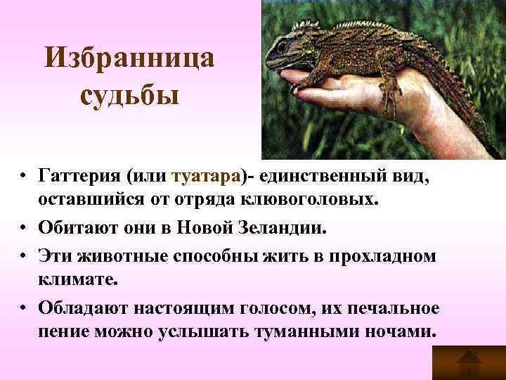 Избранница судьбы  • Гаттерия (или туатара)- единственный вид, оставшийся от отряда клювоголовых.