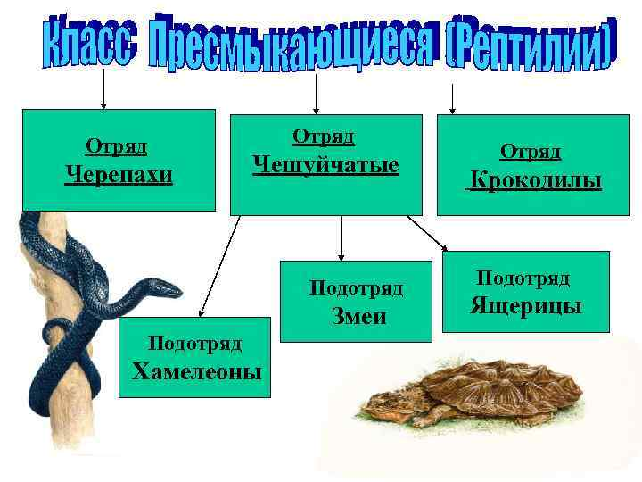 Отряд      Отряд Черепахи   Чешуйчатые