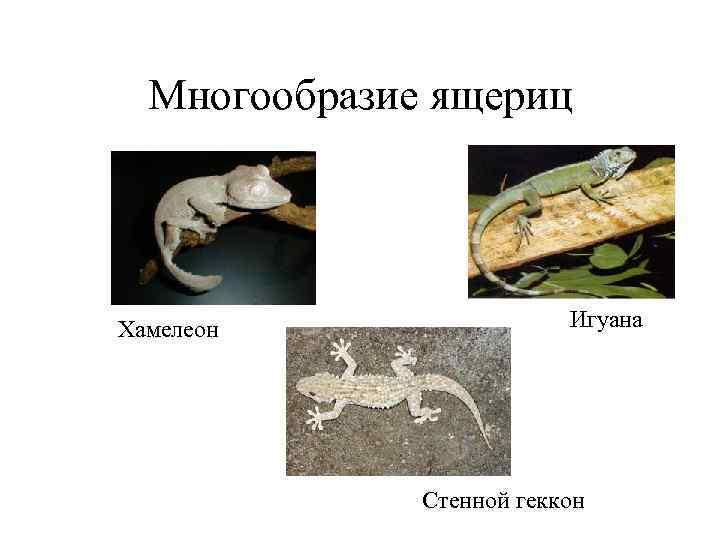 Многообразие ящериц Хамелеон   Игуана    Стенной геккон