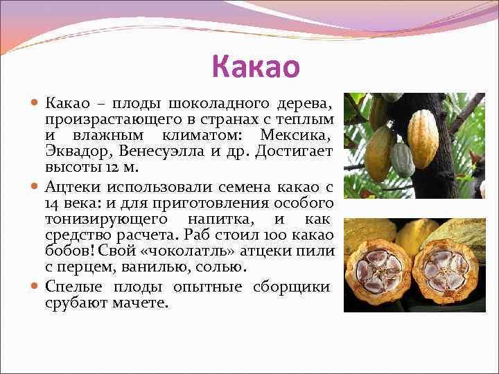 Какао – плоды шоколадного дерева, произрастающего в странах с теплым