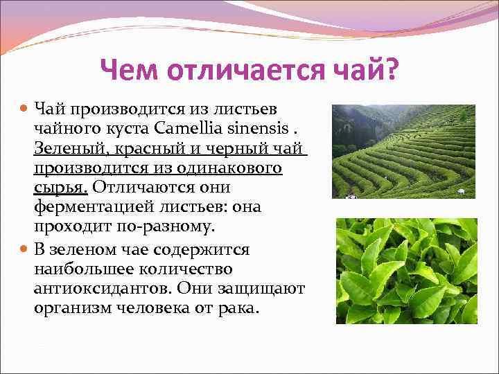 Чем отличается чай?  Чай производится из листьев  чайного куста
