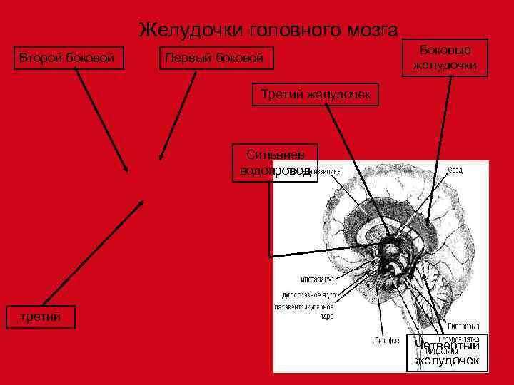 Желудочки головного мозга     Боковые Второй боковой Первый