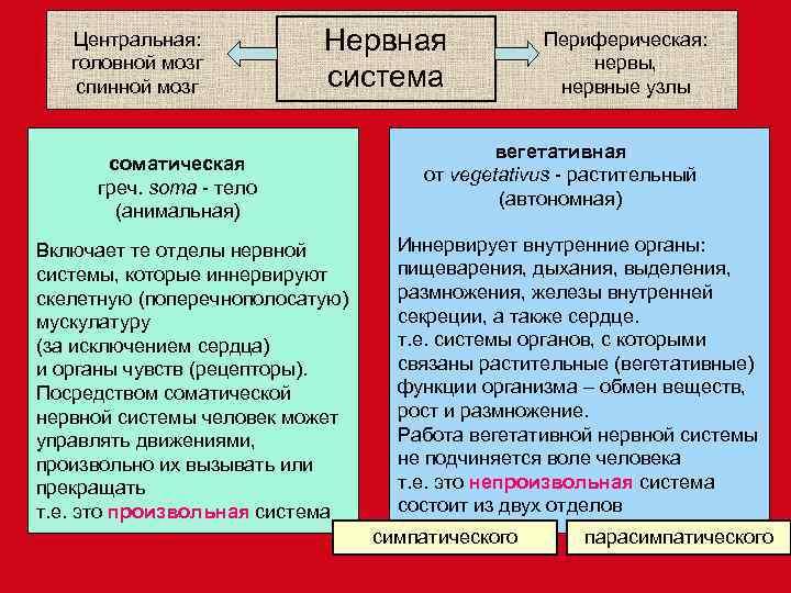Центральная:   Нервная    Периферическая: головной мозг