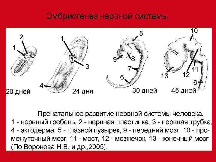 Эмбриогенез нервной системы