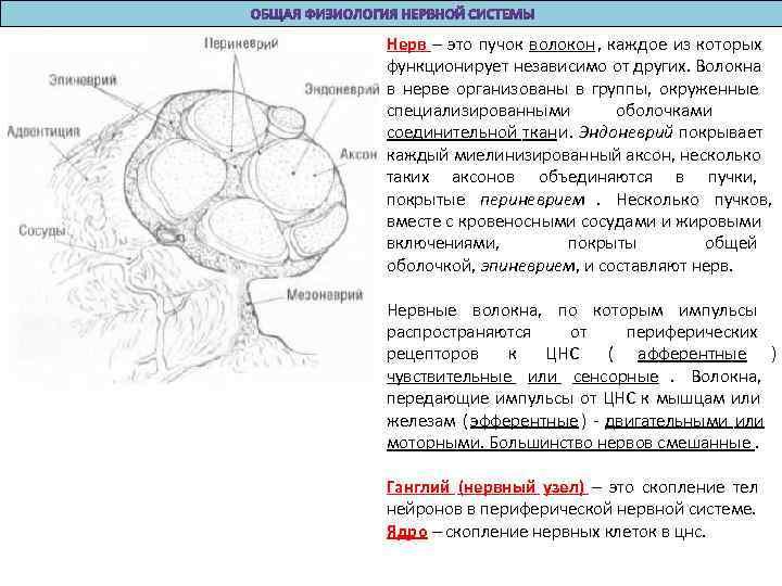 Нерв – это пучок волокон, каждое из которых функционирует независимо от других. Волокна в