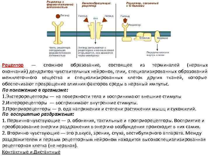 Рецептор — сложное образование,  состоящее из терминалей (нервных окончаний) дендритов чувствительных нейронов, глии,