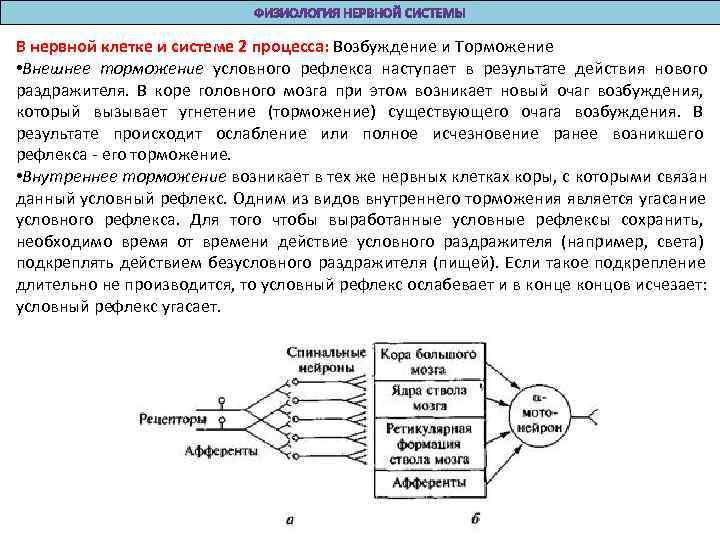 В нервной клетке и системе 2 процесса: Возбуждение и Торможение  • Внешнее торможение