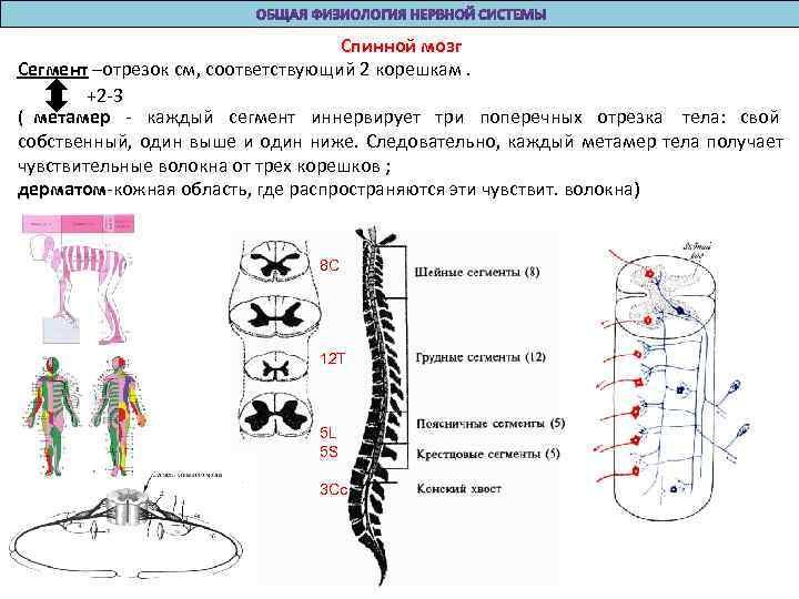 Спинной мозг Сегмент –отрезок см, соответствующий 2 корешкам.