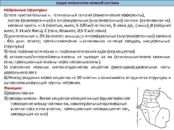 Нейронные структуры: 1) тела чувствительных н. - спинальный ганглий (соматические афференты), экстра-(околоорганные) и интрамуральные