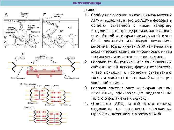 Цикл: 1. Свободная головка миозина связывается с АТФ и гидролизует его до АДФ и