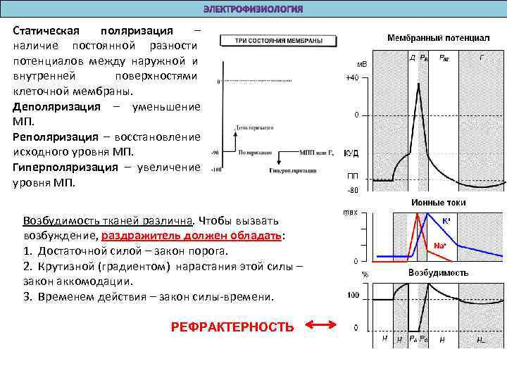Статическая поляризация – наличие постоянной разности потенциалов между наружной и внутренней  поверхностями клеточной