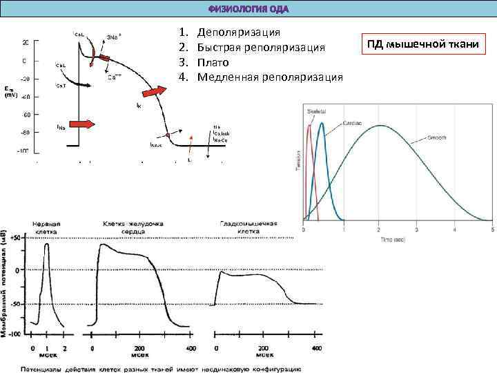 1.  Деполяризация 2.  Быстрая реполяризация ПД мышечной ткани 3.  Плато 4.