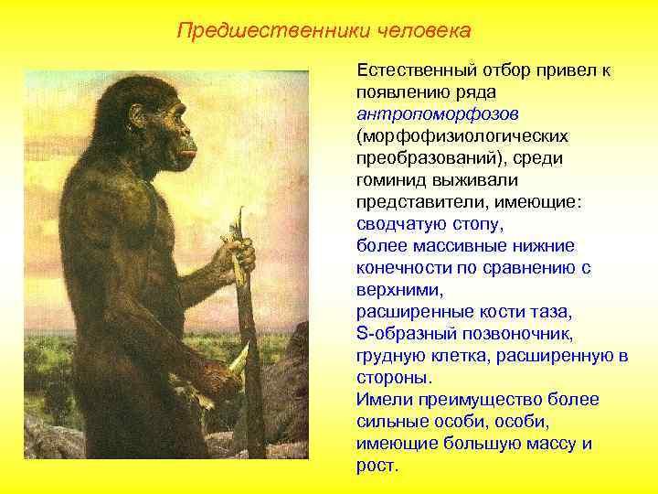 Предшественники человека    Естественный отбор привел к    появлению ряда